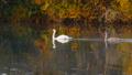 Family of white swans swims along autumn lake 33937364