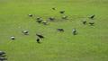 พิราบ,สนามหญ้า,นก 33949841