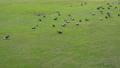 พิราบ,สนามหญ้า,นก 33949842