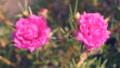 ดอกไม้บาน,ดอกไม้,กลีบ 34086257