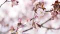 桜 (フィクス撮影) 34119200