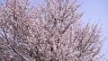 桜(空バック フィクス撮影) 34186576