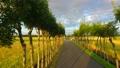 収穫をむかえる黄金色の水田とはさ木の並木道 34338305