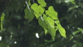 Slow motion handheld shot of linden tree under 34455466