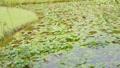 ビオトープと風に揺れる柳の木  34549027