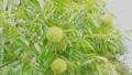 風に揺れる栗の木  34549049