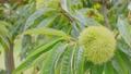 風に揺れる栗の木  34549050