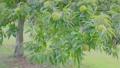 風に揺れる栗の木  34549052