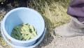 ソラ豆の収穫 34726773