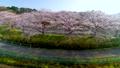 空撮 見沼田んぼの日本一の桜回廊 34731023