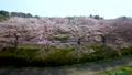 空撮 見沼田んぼの日本一の桜回廊 34731024