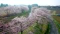 空撮 見沼田んぼの日本一の桜回廊 34731025