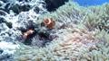 冲绳海克拉玛小丑鱼蛋鳍小丑鱼的鳍 34733111