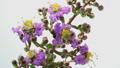 開花 タイムラプス 花の動画 34759207