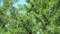 Larch tree weaving by the wind 34773251