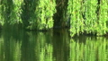 Willows on the water 34773256