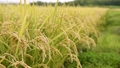 paddy, ear of rice, rice plant 34777794