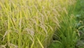 paddy, ear of rice, rice plant 34777796