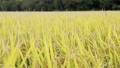 baker, paddy, rice 34777798
