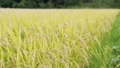 paddy, ear of rice, rice plant 34777799