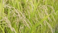 paddy, ear of rice, rice plant 34777800