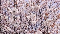 cherry blossom, cherry tree, sargent cherry 34892625
