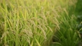 paddy, ear of rice, rice plant 34892627