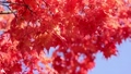 maple, yellow leafe, red leafe 34933438