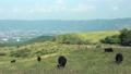 阿蘇パノラマラインの放牧牛 (4K撮影HD化高精細画質) 35047034