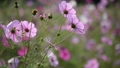 Pink cosmos swaying in the wind, back shot 35074431