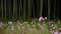 竹林とコスモス 35104524