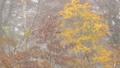 霧の紅葉 35104525