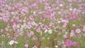 四季の里のコスモス 35104527