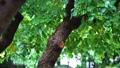 雨 葉っぱ 木の動画 35152215