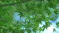 葉 新緑 緑の動画 35183863
