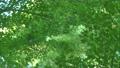 葉 新緑 緑の動画 35183884