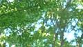 葉 新緑 緑の動画 35183891