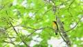 新緑の森で囀るキビタキ雄 35380213