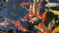 Colorful of fish or fancy carp swimming and eating 35443479