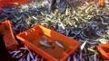 sardine,fish,fishing 35461297