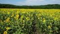 ひまわり畑 35529617