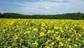 ひまわり畑 35529619