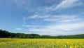 ひまわり畑 35529623