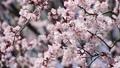 桜 蝦夷山桜 エゾヤマザクラの動画 35531131