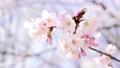 桜 蝦夷山桜 エゾヤマザクラの動画 35531132