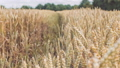 Dry golden wheat spikes in a filed. Slow motion 35597284