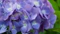 アジサイ 花 植物の動画 35605199
