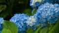 アジサイ 花 植物の動画 35605202