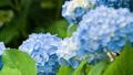アジサイ 花 植物の動画 35605204