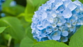 绣球花 花朵 花卉 35605206